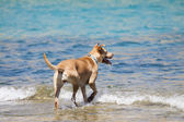 Dog playing in the water — Stock Photo