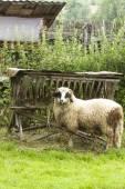 Lamb in the pen — Stock Photo