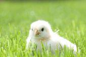 Cute chicken on green grass — Photo