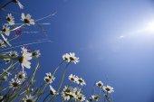 Hermosas margaritas blancas y cielo azul — Foto de Stock