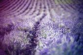 Lavender in the field — Stock Photo