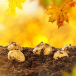 Autumn potatoes harvest — Stock Photo #53233301