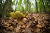 Boletus mushroom in the forest — Stock Photo
