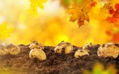Autumn potatoes harvest — Stock fotografie