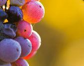 Wine grapes close-up — Stock Photo