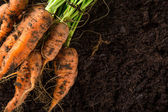 Carrots in the garden — Stock Photo