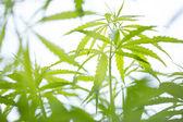 Young cannabis plant, marijuana — Foto Stock