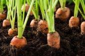 Karotten im garten — Stockfoto