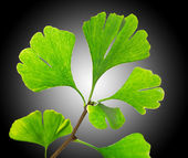 Green ginkgo biloba — Stock Photo