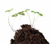 Little plants on clod of soil — Stock Photo