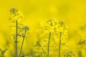 Flowering barbarea vulgaris - Rape flower. — Stock Photo