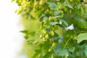 Detail of fresh hops cones — Stock Photo