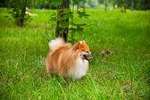 Spitz pes venku — Stock fotografie