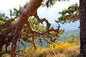Conifer with sinuous branches and roots. Southern Landscape — Stock Photo