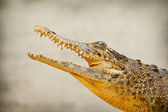 Snout of a crocodile with open mouth and sharp teeth closeup — Stock Photo