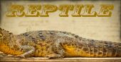 Body of the reptile, crocodile, photo tinted in yellow — Stockfoto