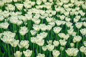 Blooming white flowers tulips on the flowerbed — ストック写真