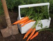 Harvest of fresh carrot — Stock Photo
