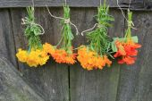 Fresh calendula, nasturtium,tagetes hanging for drying — Stockfoto