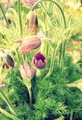 Vintage photo of  spring pasque flowers — Stock Photo