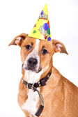 Dog anniversary — Stock Photo