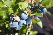 Blueberries on a shrub. — Stock Photo