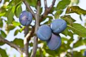 Plums on the tree. Fruit background. — Stock Photo