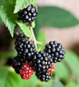 Dewberries on a shrub. — Stockfoto