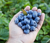 Blueberries in the man's hands. — Stock Photo