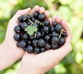 Black currants is in the child's hands.  — Stock Photo