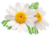 Two beautiful camomiles on white background. — Stock Photo