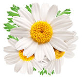 Beautiful camomiles on white background.  — Stock Photo