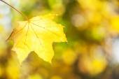 Yellow maple leaf. — Stock Photo