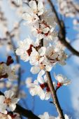 Blossom of fruity brach in the sunlight.  — Stock Photo