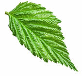 Fresh raspberry leaf. File contains clipping paths. — Stock Photo