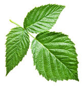 Fresh raspberry leaves. File contains clipping paths. — Stock Photo