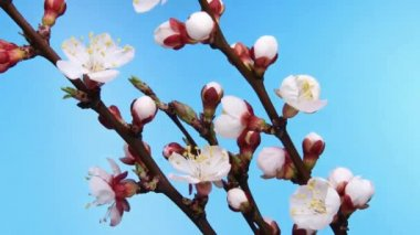 Apricot flower growing on a blue background — Stockvideo
