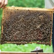 Bee-keeper keeps in hand honeycomb frame with bees on it. — 图库照片 #63379113