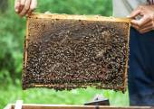Bee-keeper keeps in hand honeycomb frame with bees on it. — Stock Photo