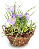 Crocus flowers in the splint basket. — Stock Photo