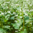 Buckwheat field. — Stock Photo #69062241