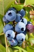 Blueberries on a shrub. — Stock Photo