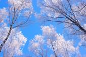 Winter wood in frost and blue sky — Stock Photo