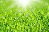Green grass background — Stock Photo