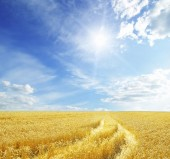 Wheat field and blue sky with sun — Photo
