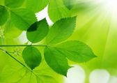 Green leaves  background — Stock Photo
