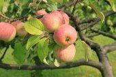 Pommes sur l'arbre — Photo