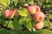 Apples on the tree — Stock Photo