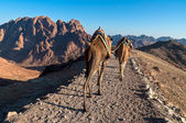 Sinai bedouins and his camels — Stock Photo