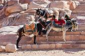 Arabian men with his donkeys — Stock Photo